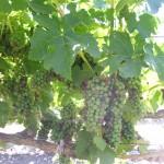 Varital Focus Group Petite Sirah - Bogle Vineyards